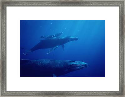 Humpback Whale Mother Calf And Male Framed Print