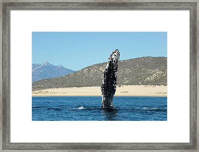 Humpback Whale Pectoral Fin Framed Print