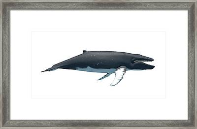 Humpback Whale Framed Print by Sciepro