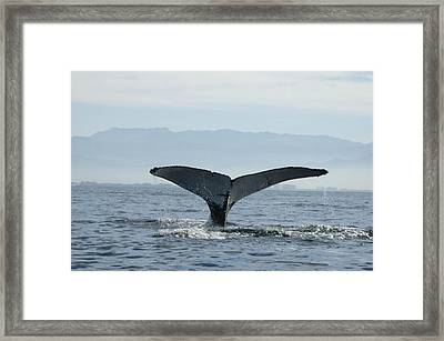 Humpback Whale Tail 3 Framed Print