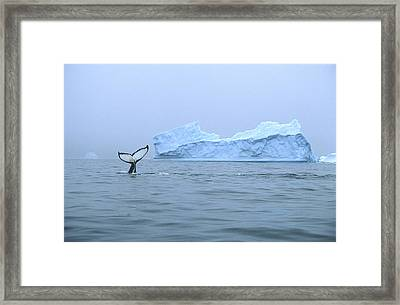 Humpback Whale Tail And Iceberg Framed Print by Colin Monteath