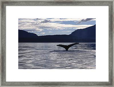 Humpback Whale Tail At Sunset Southeast Framed Print by Flip Nicklin