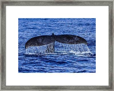 Humpback Whale Tail Fluke During Deep Dive Framed Print