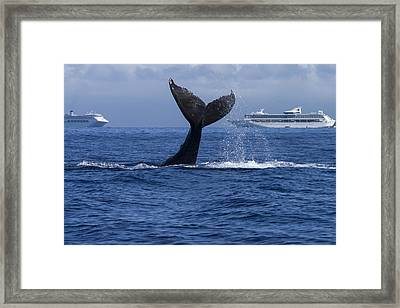 Humpback Whale Tail Lobbing In Maui Framed Print by Flip Nicklin