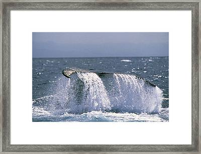 Humpback Whale Tail Framed Print by M. Watson