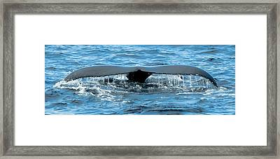 Humpback Whale Tail Off Bermuda Framed Print by Jeff at JSJ Photography