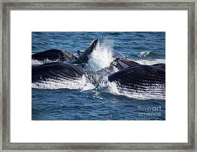 Humpback Whales Feeding Framed Print