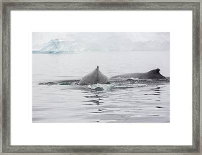 Humpback Whales Feeding On Krill Framed Print by Ashley Cooper
