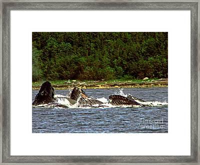 Humpback Whales Feeding Framed Print by Robert Bales