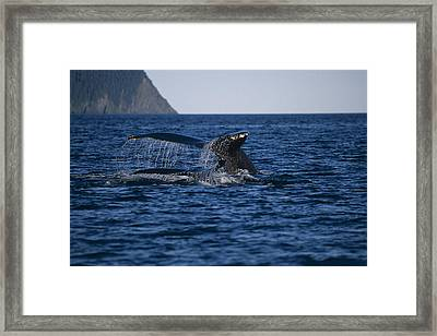 Humpback Whales Swimming On Surface Framed Print