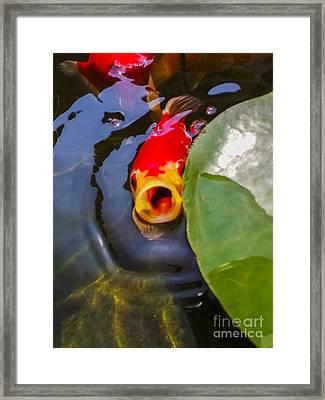 Koi Framed Print by Charlie Cliques