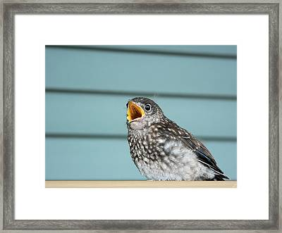 Hungry Baby Bluebird  Framed Print