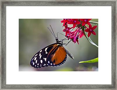 Hungry Butterfly Framed Print