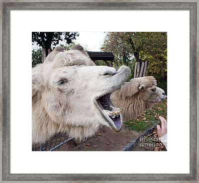 Hungry Camel Portrait Framed Print by Odon Czintos
