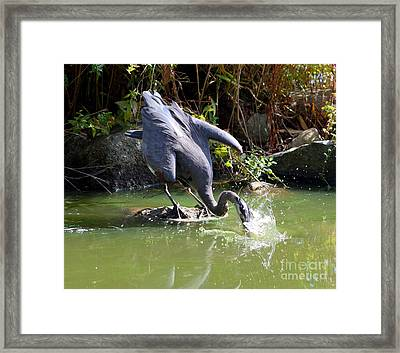 Hungry Great Blue Heron Framed Print