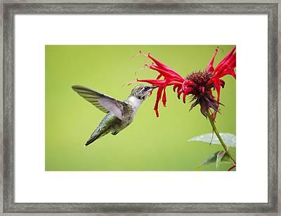 Hungry Hummingbird Framed Print