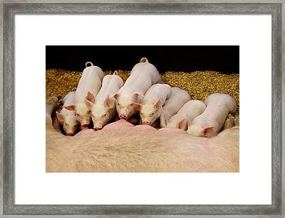 Hungry Little Piglets Framed Print by Luke Moore