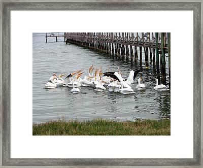 Framed Print featuring the photograph Hungry Pelicans by Linda Cox