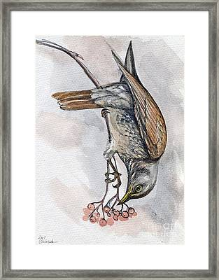 hungry Thrush 1 Framed Print by Angel  Tarantella