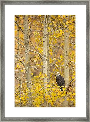 Hunting From An Aspen Framed Print by Tim Grams
