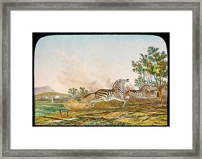 Hunting Quagga Framed Print by Gustoimages/science Photo Libbrary