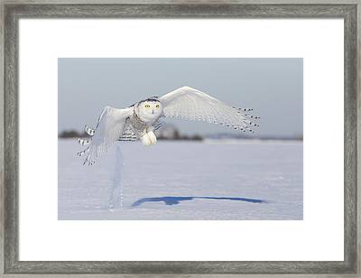 Hunting Snowy Owl Framed Print by Mircea Costina Photography