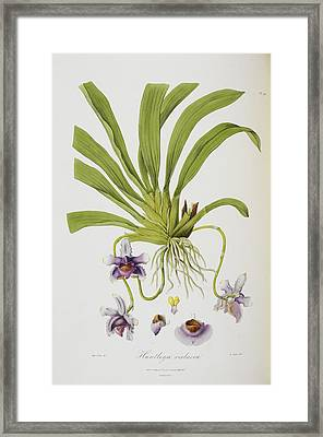 Huntleye Violacea Framed Print by British Library