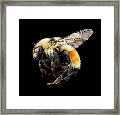 Hunt's Bumblebee Framed Print by Us Geological Survey