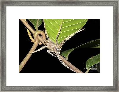 Huntsman Spider, Borneo Framed Print by Louise Murray