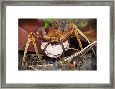 Huntsman Spider Carrying Egg Sac Framed Print by Melvyn Yeo