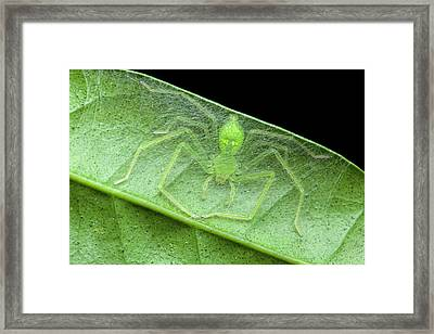 Huntsman Spider In Nest Framed Print by Melvyn Yeo