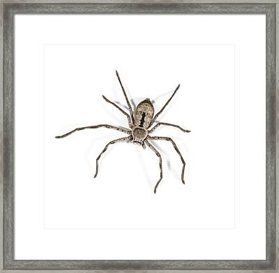 Huntsman Spider Framed Print by Science Photo Library