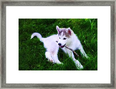Huskie Pup Playing Fetch Framed Print by Bill Cannon