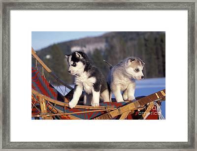 Huskies On A Sled Framed Print by Rolf Kopfle