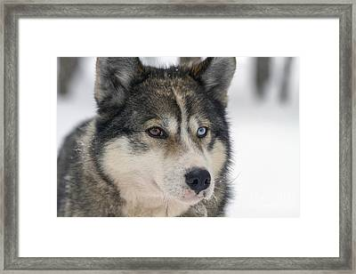 Husky Dog Breading Centre Framed Print by Lilach Weiss