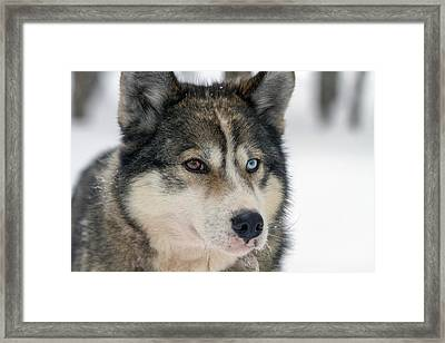 Husky Dog Breading Centre Framed Print by Photostock-israel