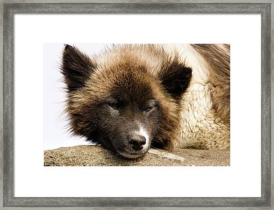 Husky Dog, Tasiilaq (ammassalik Framed Print by Daisy Gilardini