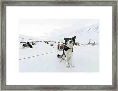 Husky Dogs And Kennels Framed Print by Louise Murray