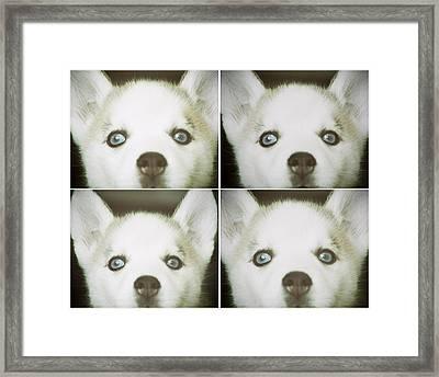 Husky Face Framed Print by Susan Stone