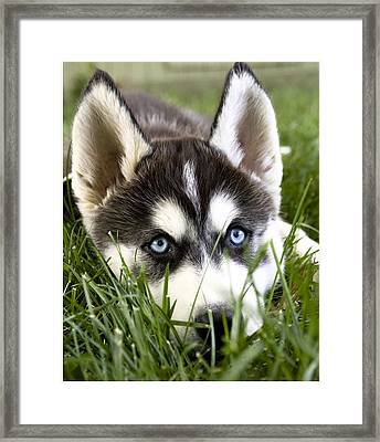 Husky In The Grass Framed Print