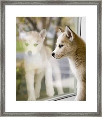 Husky In The Window Framed Print