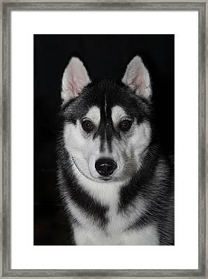 Husky Portrait Framed Print