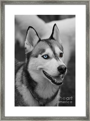 Framed Print featuring the photograph Husky Portrait by Vicki Spindler