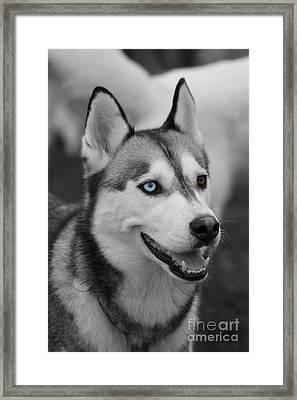 Husky Portrait Framed Print by Vicki Spindler