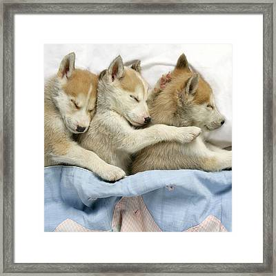Husky Puppies Asleep In Bed Framed Print by John Daniels