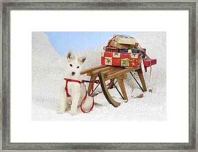 Husky Puppy At Christmas Framed Print by John Daniels