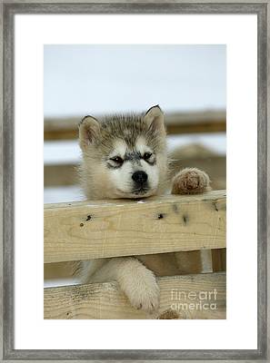 Husky Puppy Dog Framed Print by M. Watson