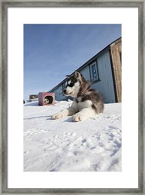 Husky Sled Dog Puppy Framed Print