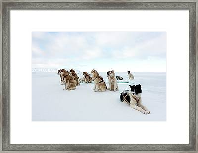 Husky Sled Dogs Framed Print