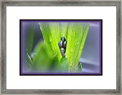 Hyacinth For Micah Framed Print